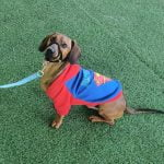 Beginners Guide To Training A Dachshund