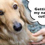 How Do You Cut A Dachshunds Nails?