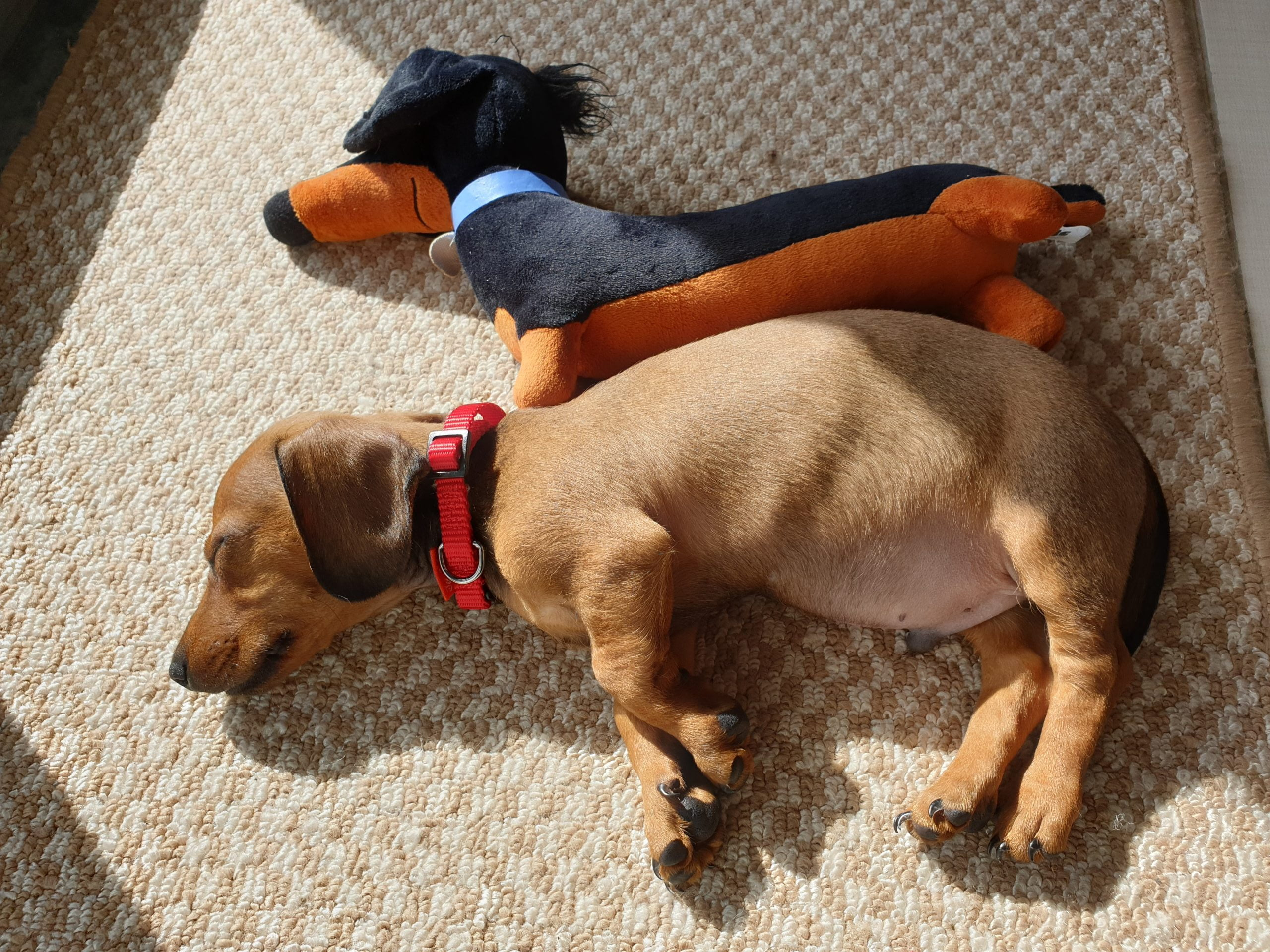 Miniature Dachshunds Appearance and Grooming