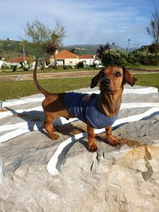 Why Dachshund dogs make wonderful pets