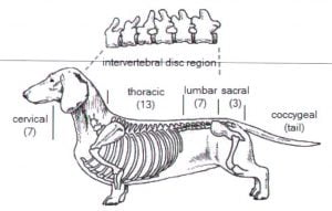 Why dachshunds get IVDD and how to prevent it??