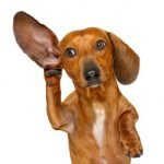 Dachshund Dog Personality, Health and Care